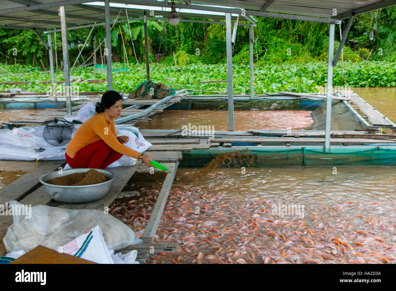 Tilapia Farm, Aquaculture, Mekong River, Vietnam, Asia ...