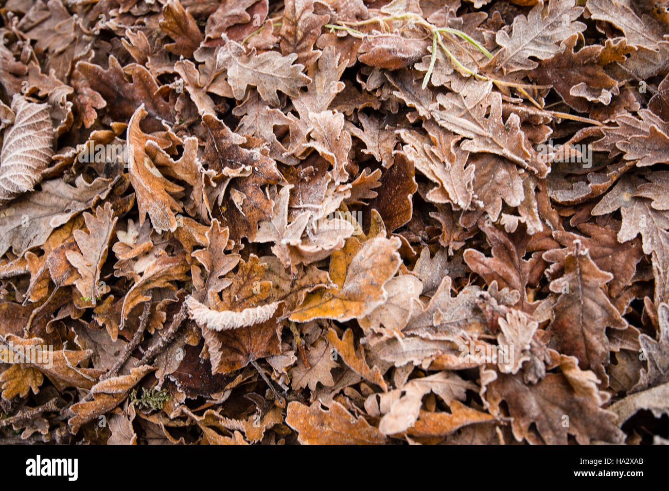 close up of oak leaves collected during late autumn stock photo