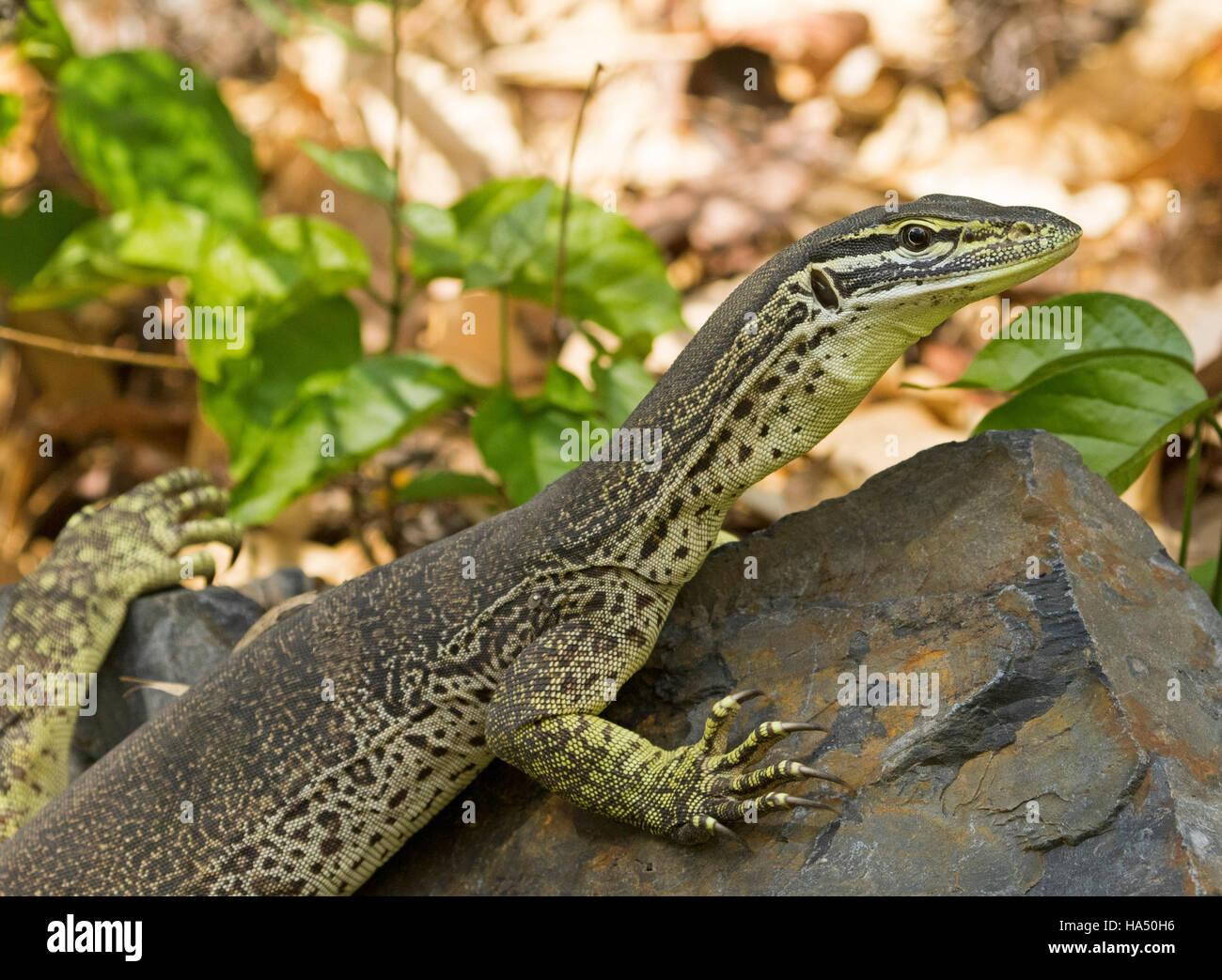 close up of australian lace monitor lizard goanna varanus varius
