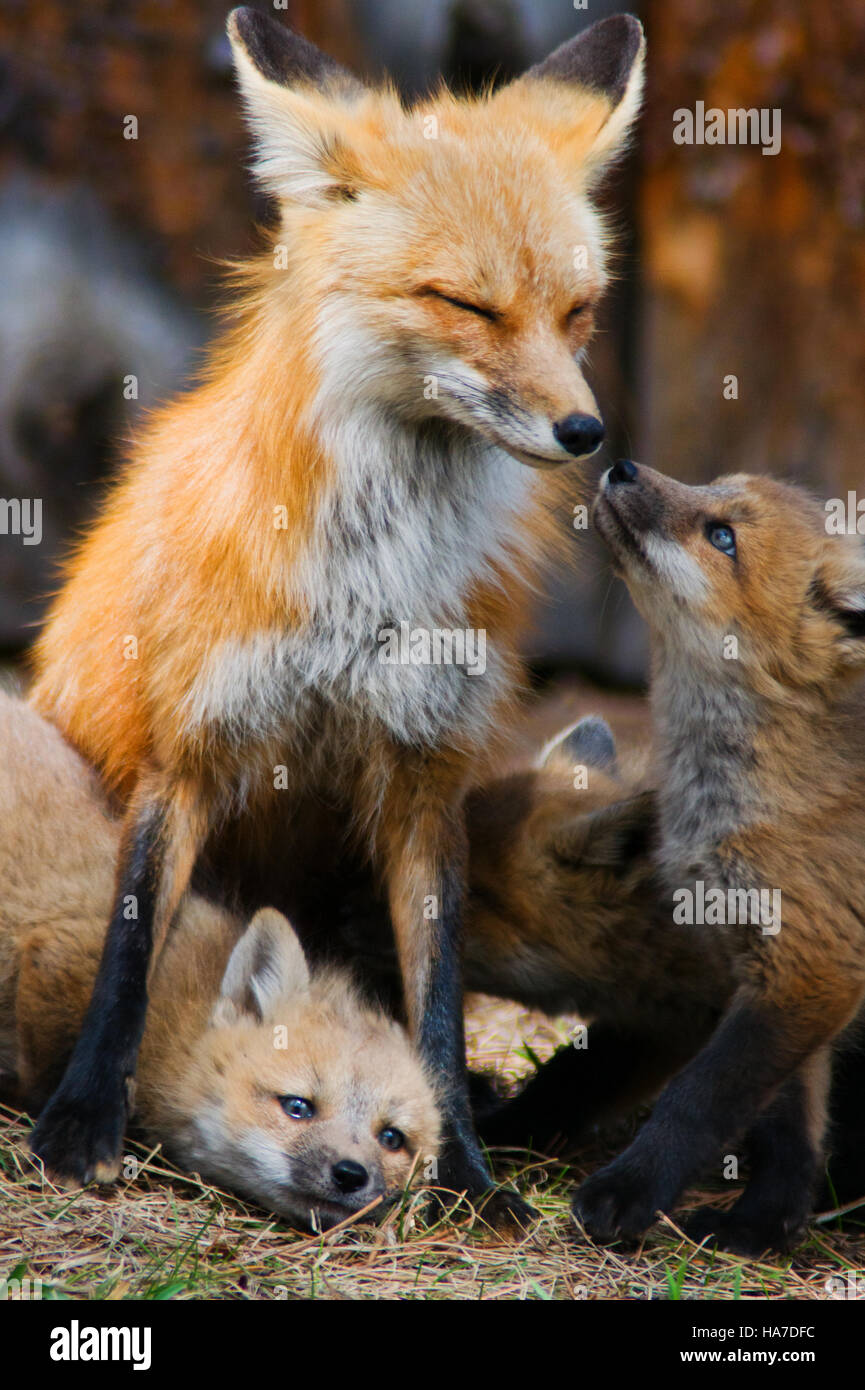 Red Fox Mother and Her Baby Kits Playing - YouTube