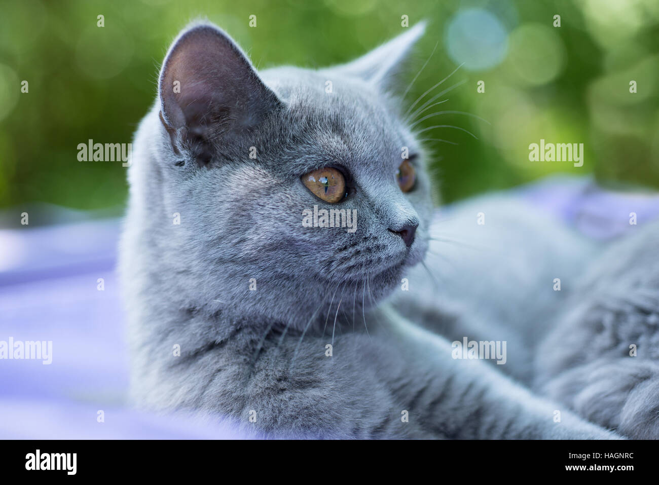 British blue cat 5 months Stock Royalty Free Image