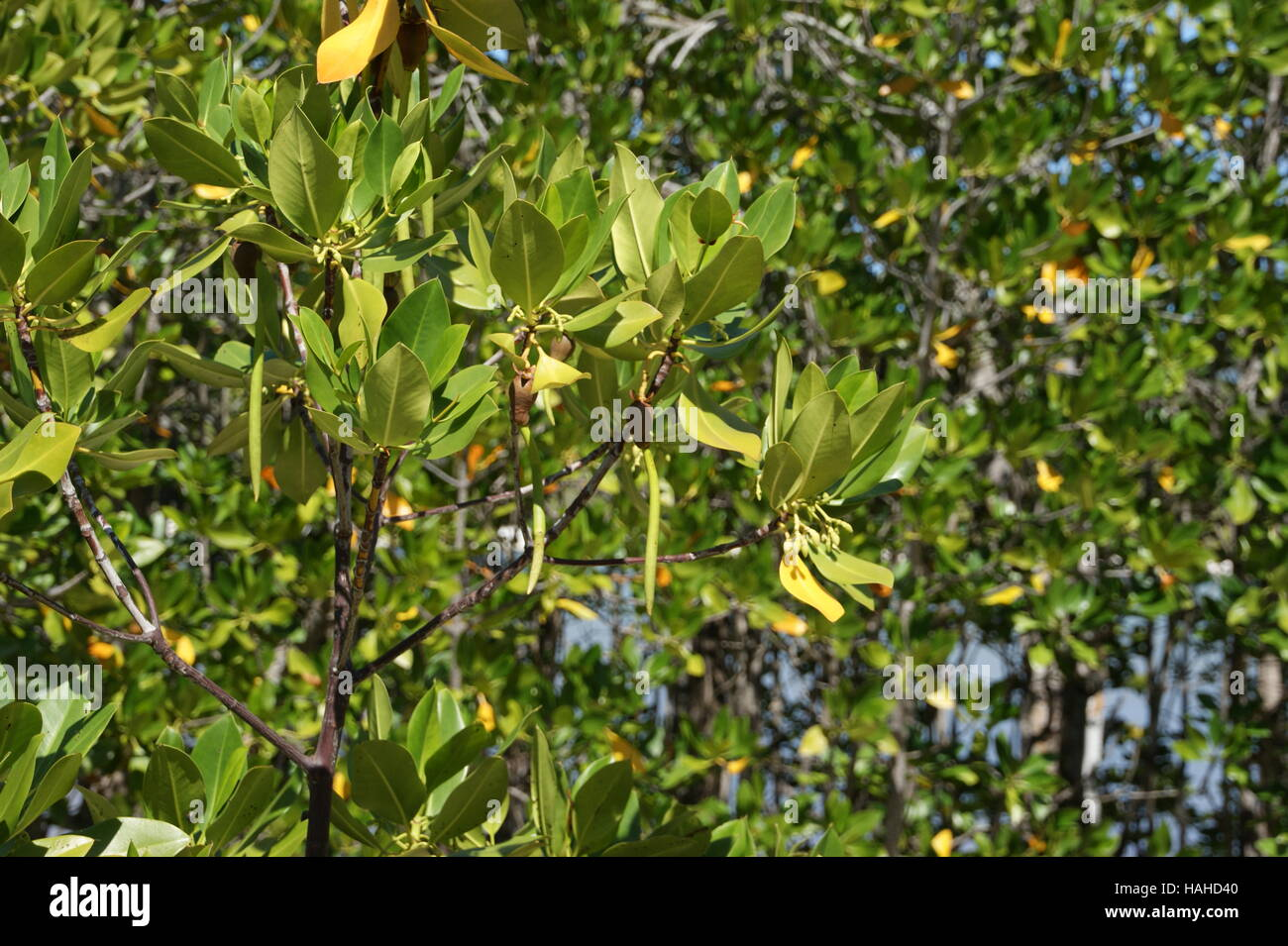 Rhizophora mucronata, loop-root mangrove, red mangrove or Asiatic ...