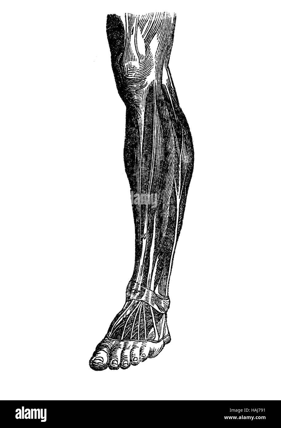 Human foot anatomy stock photos human foot anatomy stock images anatomy human musculature foot shankknee stock image pooptronica