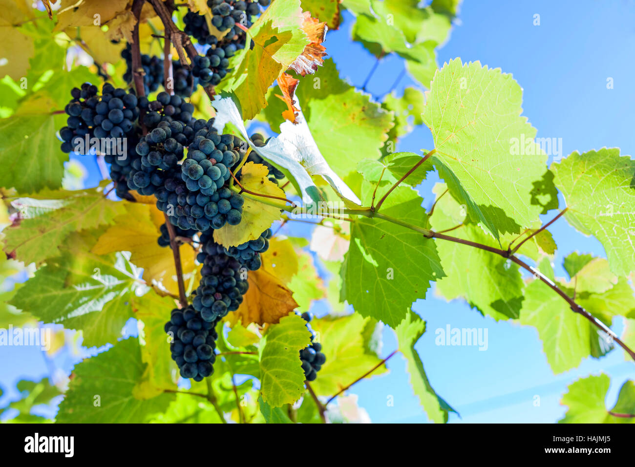 Blue vine grape on grapevine with some leaves in a styrian vine blue vine grape on grapevine with some leaves in a styrian vine route izmirmasajfo Images