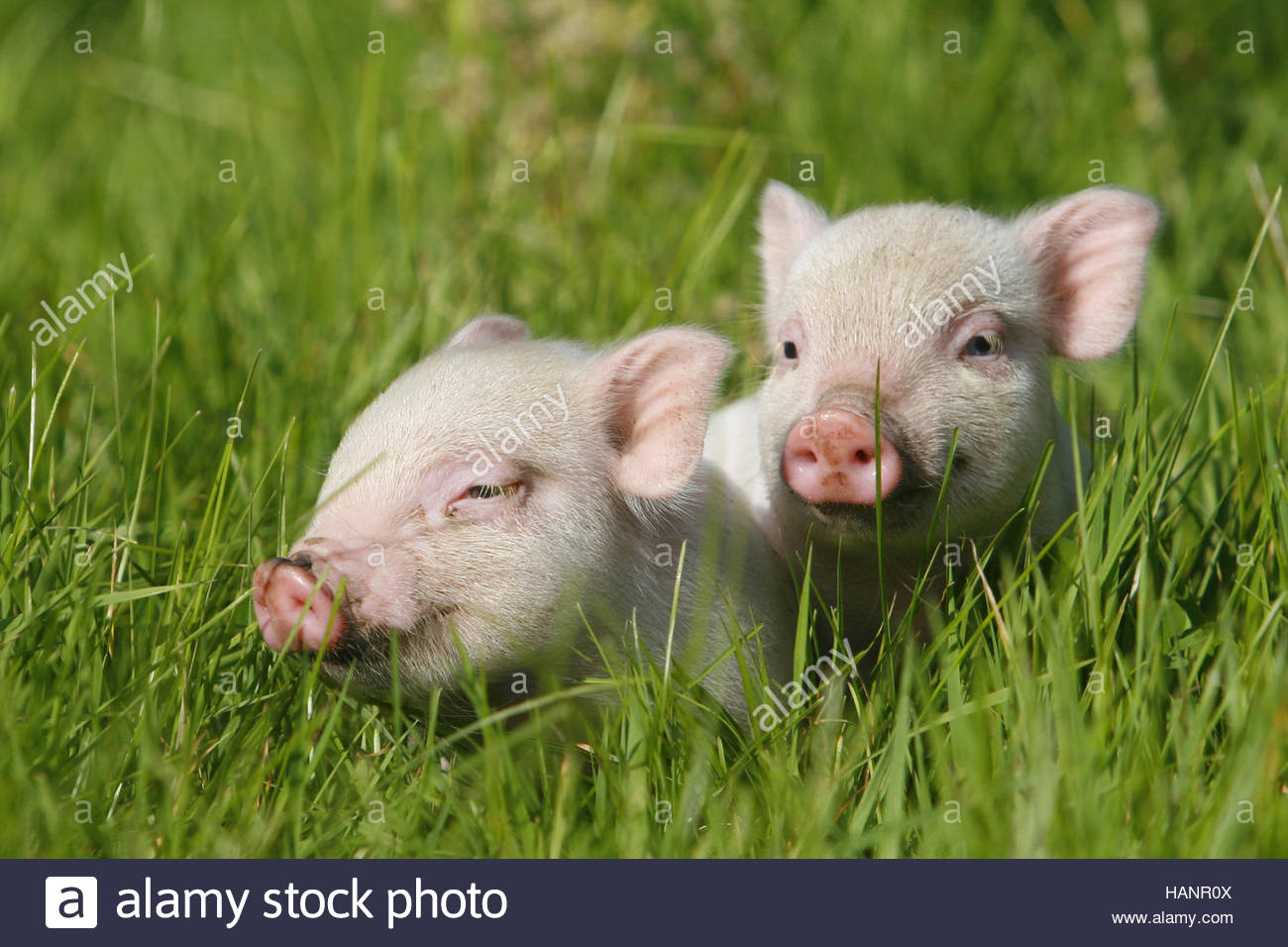 minischweine zwergschweine ferkel piglets stock photo royalty free image 127098186 alamy. Black Bedroom Furniture Sets. Home Design Ideas