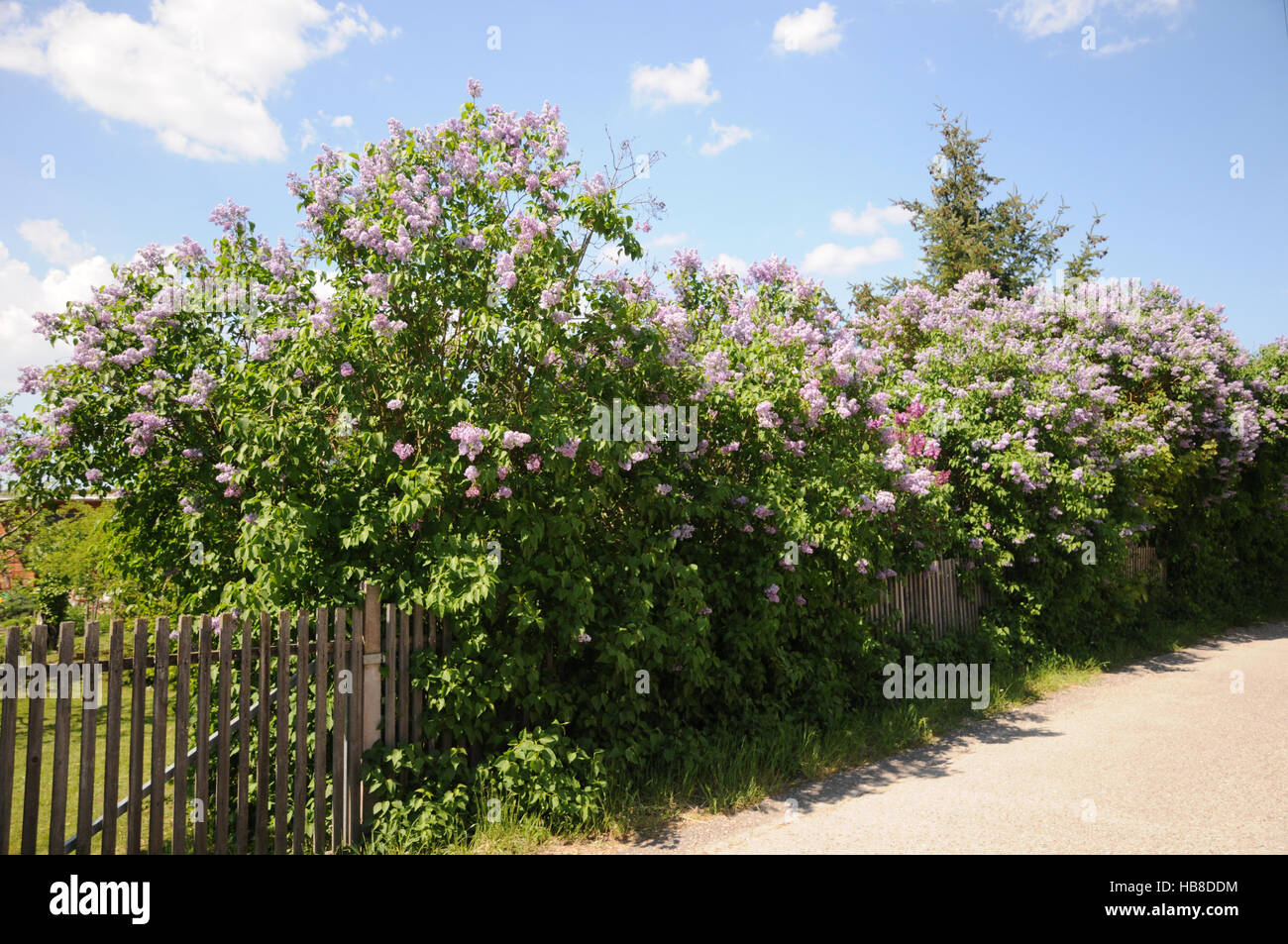 syringa vulgaris lilac hedge stock photo royalty free image 127419984 alamy. Black Bedroom Furniture Sets. Home Design Ideas