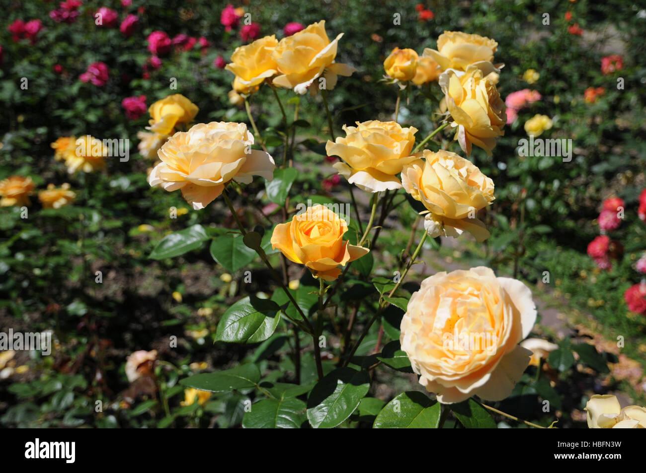 Candlelight Garden Rose Garden Ftempo