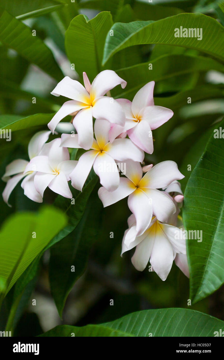 Slaughter pink plumeria flowers usa stock photo royalty free slaughter pink plumeria flowers usa dhlflorist Gallery