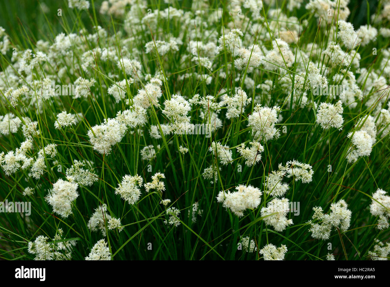 Luzula nivea snowy woodrush white flower flowers flowering showy stock photo luzula nivea snowy woodrush white flower flowers flowering showy plant perennial perennials rm floral dhlflorist Image collections