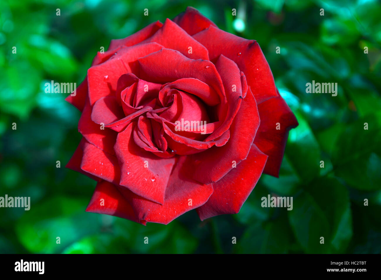 rosa ingrid bergman poulman red hybrid tea rose roses. Black Bedroom Furniture Sets. Home Design Ideas