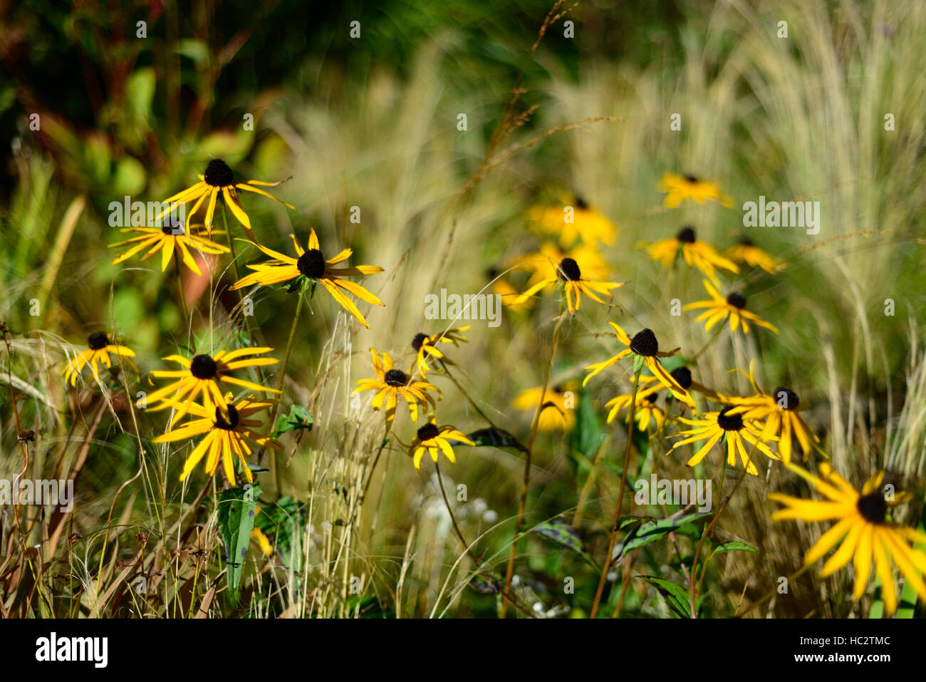 Rudbeckia grass grasses prairie planting scheme mix mixed for Grasses planting scheme