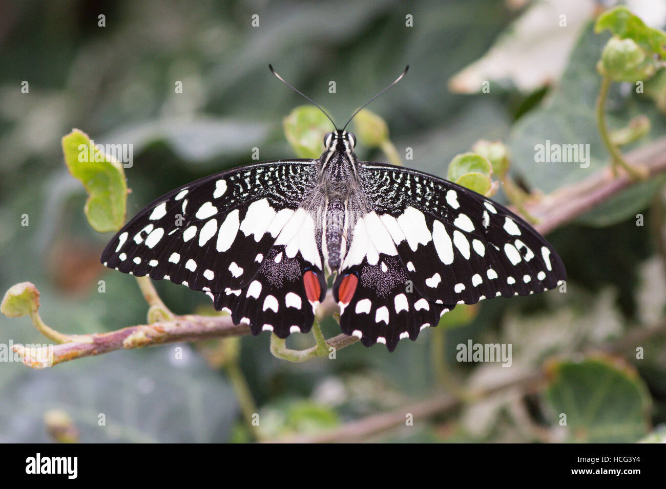 Papilio demodocus, Citrus Swallowtail or Christmas Butterfly Stock ...
