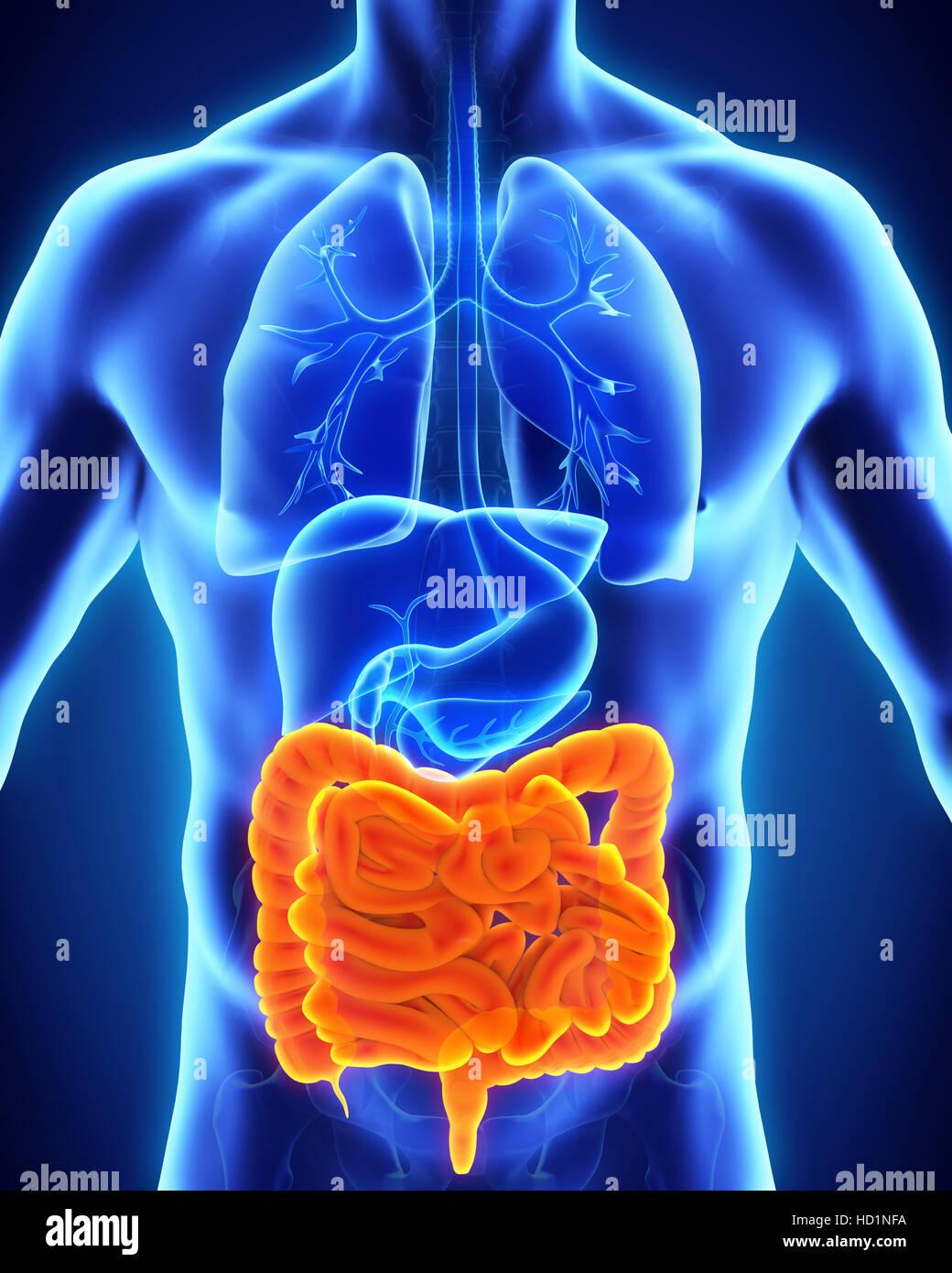 Human intestines anatomy