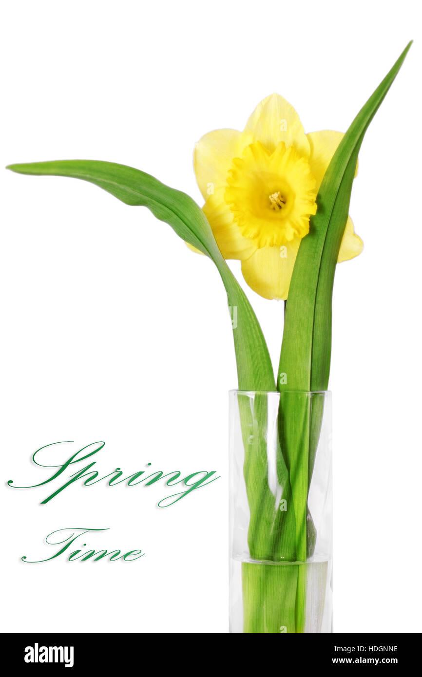 Beautiful spring single flower in vase yellow narcissus daffodil beautiful spring single flower in vase yellow narcissus daffodil isolated over white reviewsmspy