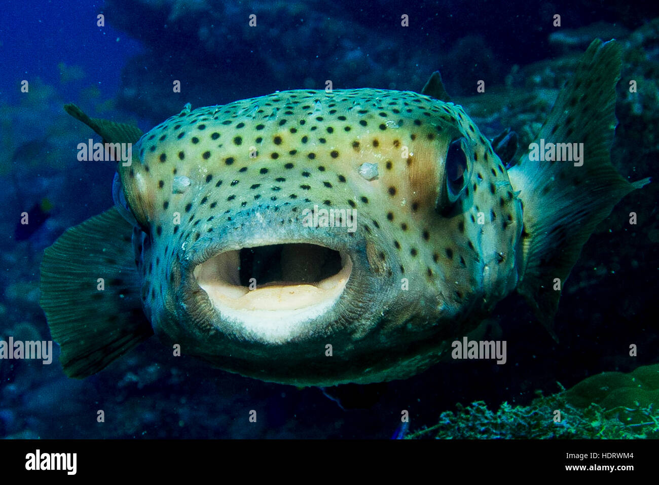 Blue porcupine puffer fish