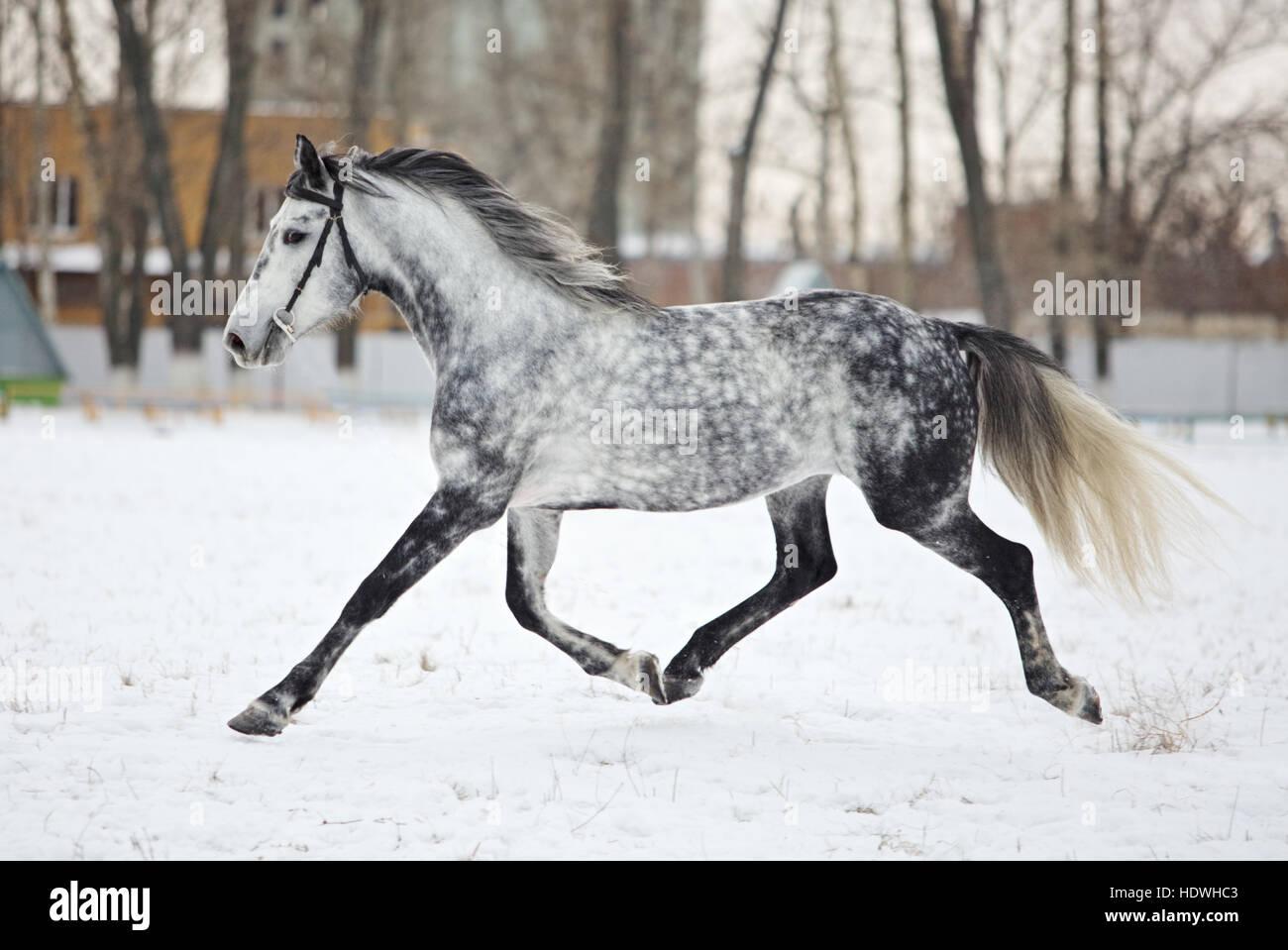 dapplegrey arabian horse in motion on snow field stock