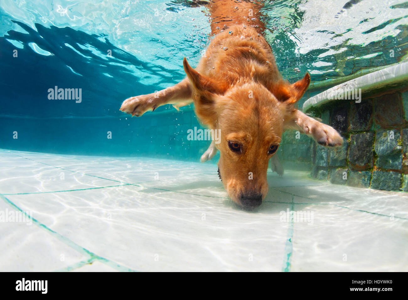 Underwater Funny Photo Of Golden Labrador Retriever Dog In Swimming Stock Photo Royalty Free