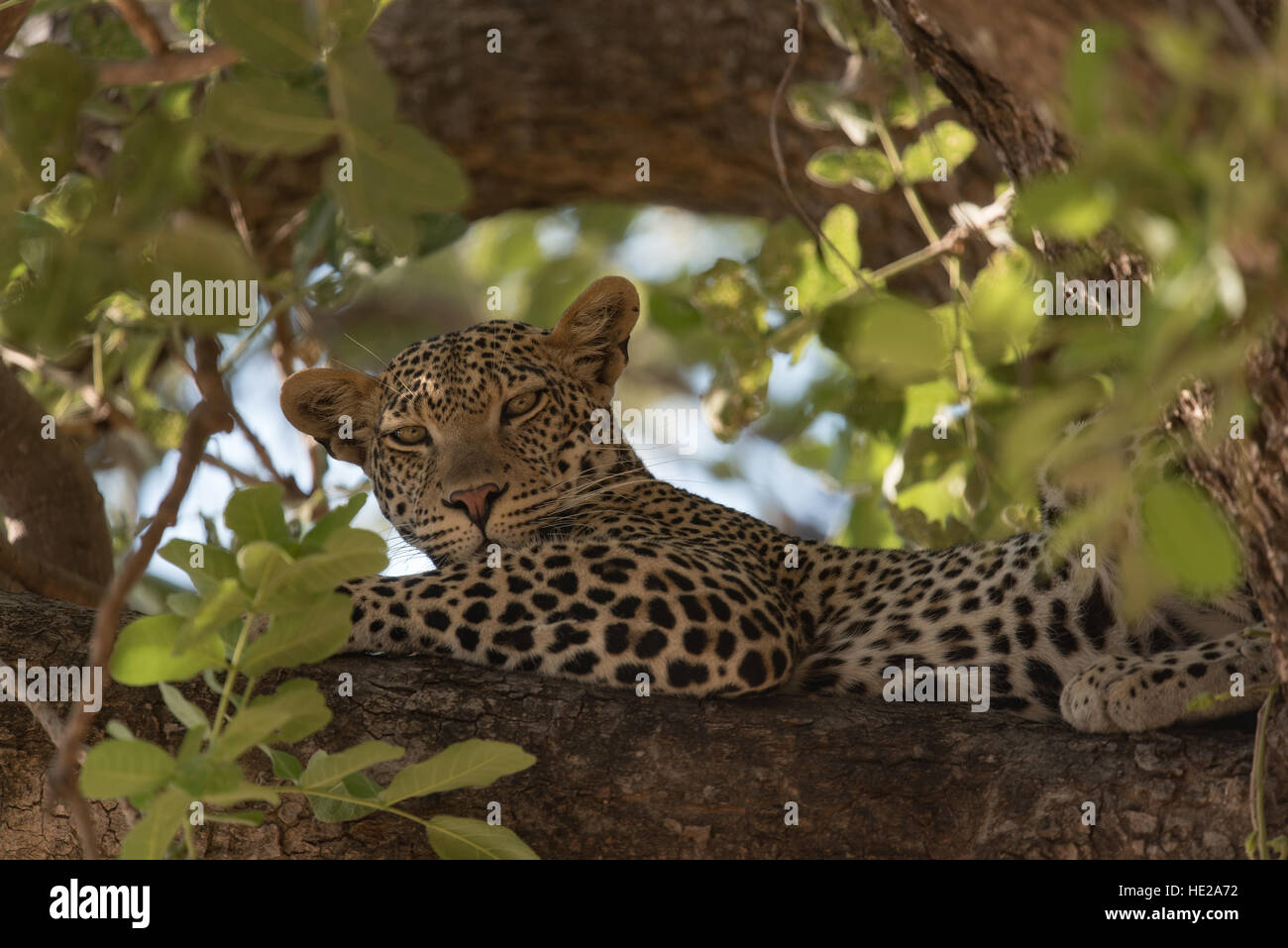 leopard resting on a branch in the ruaha national park  the animal stock photo  royalty free