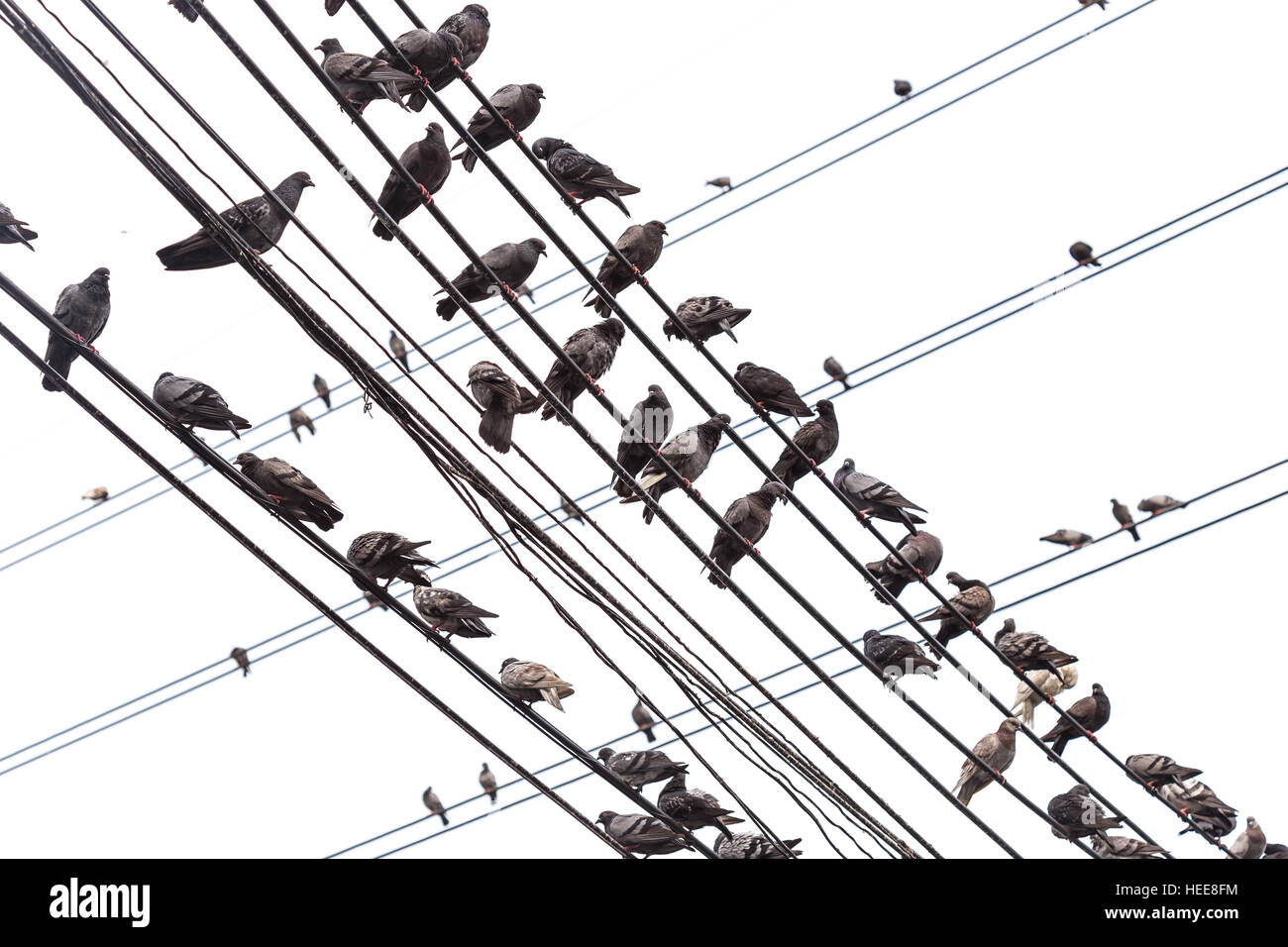 Group of pigeon on an electric wire isolated on white background ...