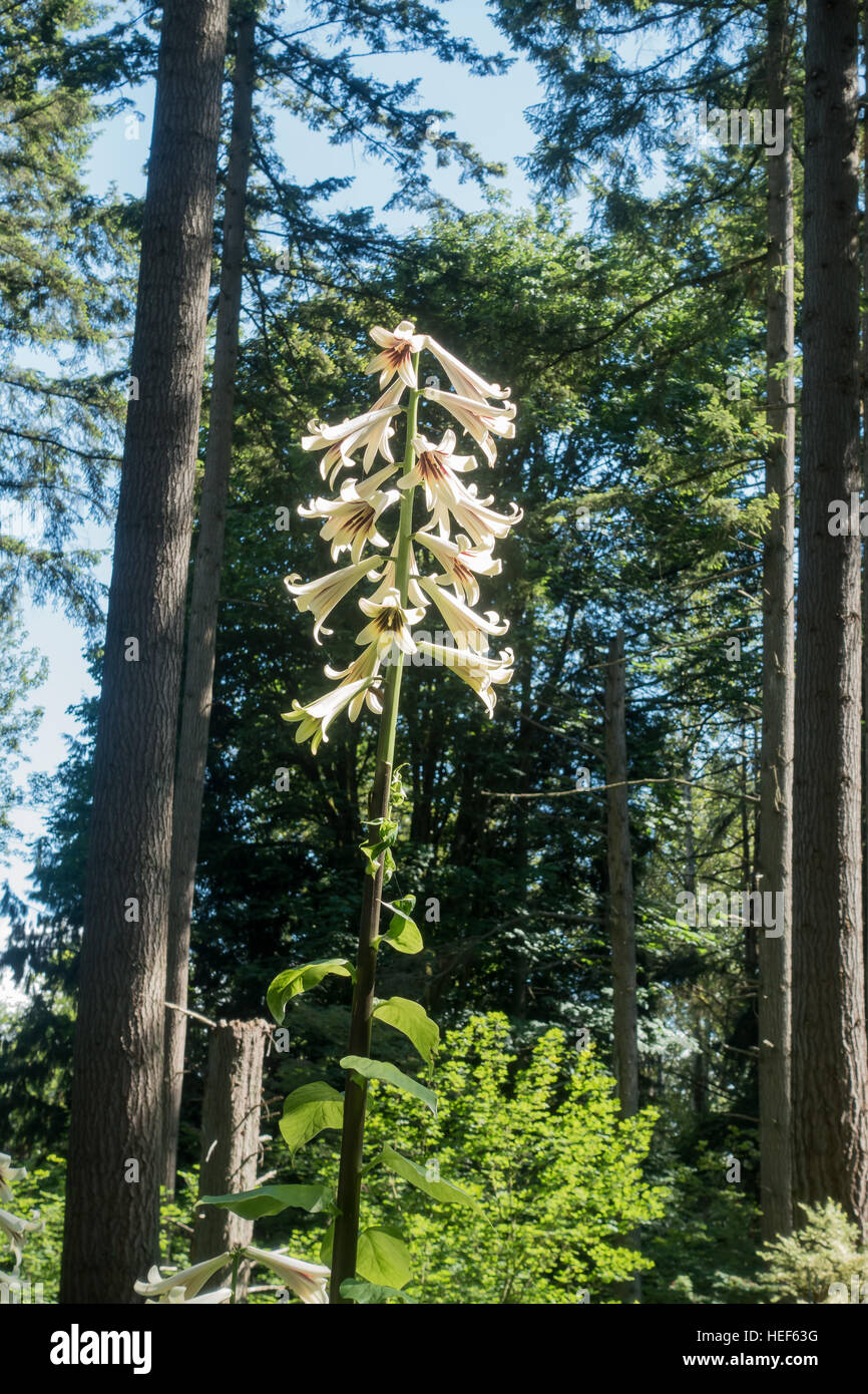 A Giant Himalayan Lily Grows Tall At The Rhododendron Species Botanical  Garden