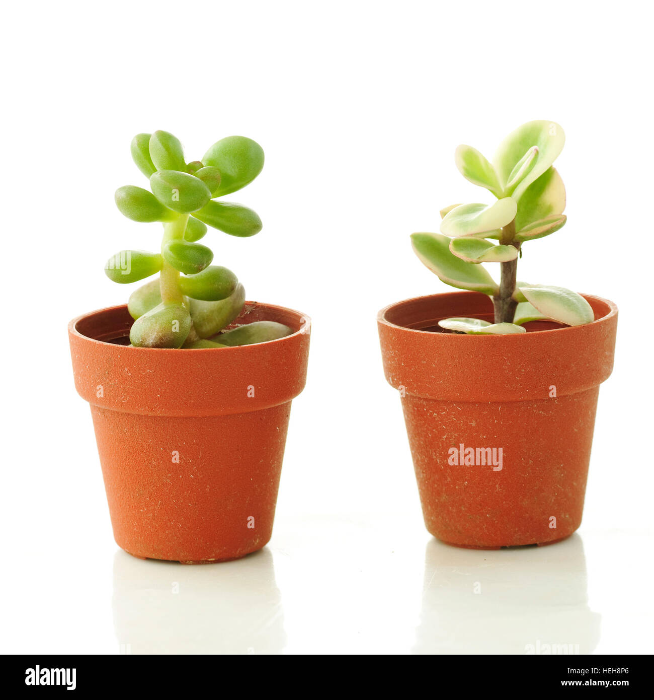 succulent plants in small pots white background stock photo