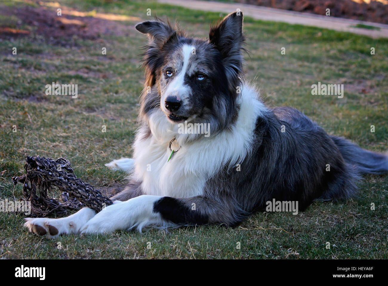 German koolie dog