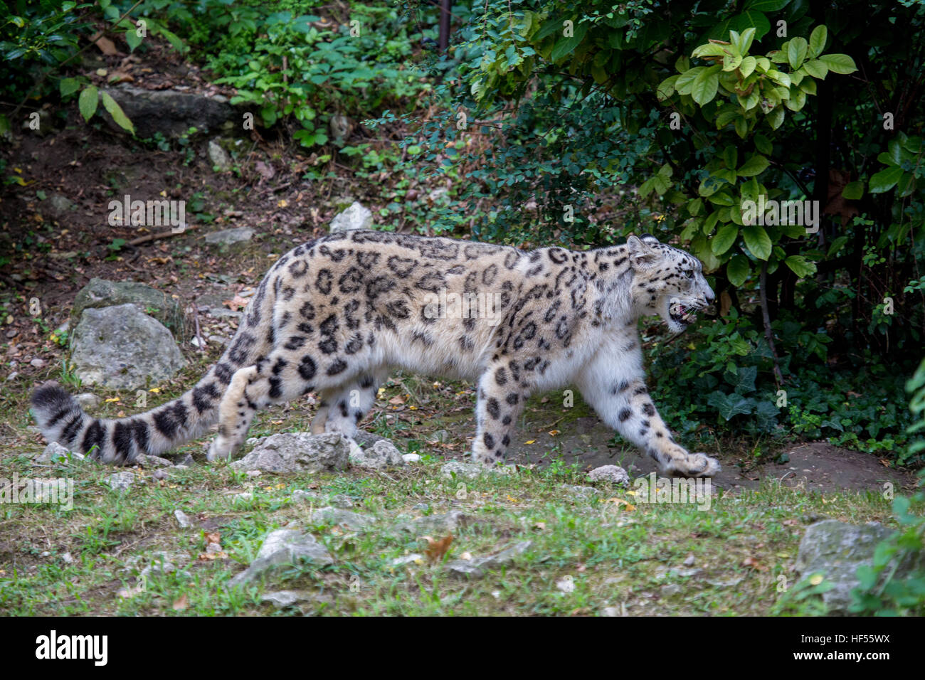 Male snow leopard cub looking up Stock Photo, Royalty Free Image ...