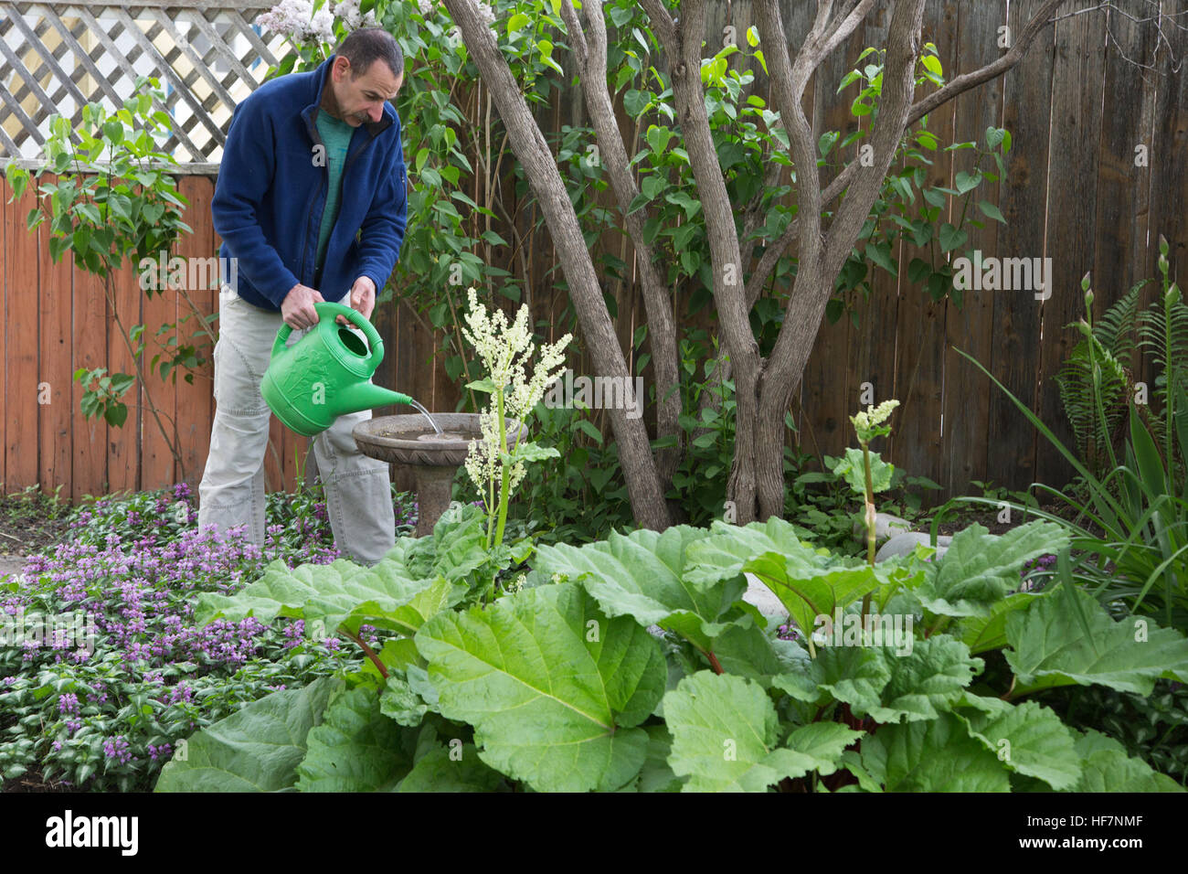 man filling bird bath with watering can in backyard garden stock