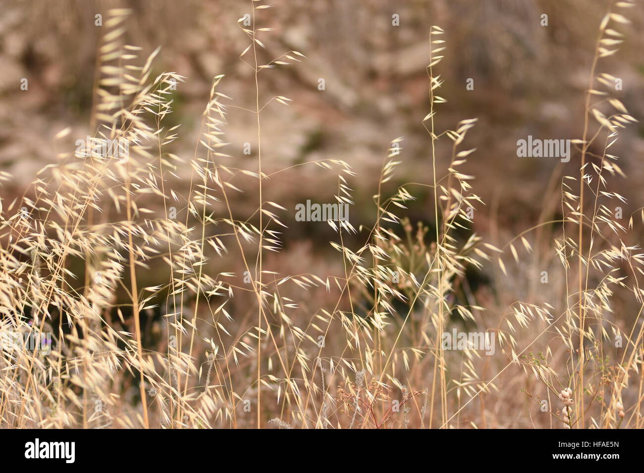 dry grass field background. Beautiful Field With Dry Grass And Wild Oats In Delicate Beige Golden Hues, Autumn Spring Landscape, Wallpaper, Background