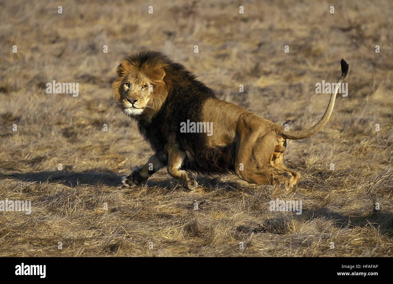 African lions running