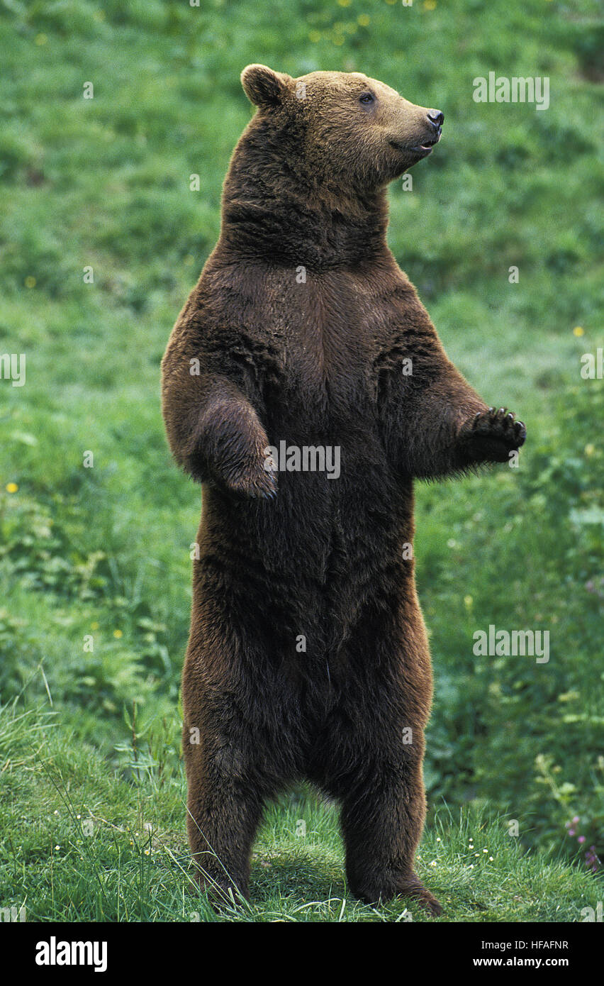 Brown Bear Ursus Arctos Adult Standing On Hind Legs