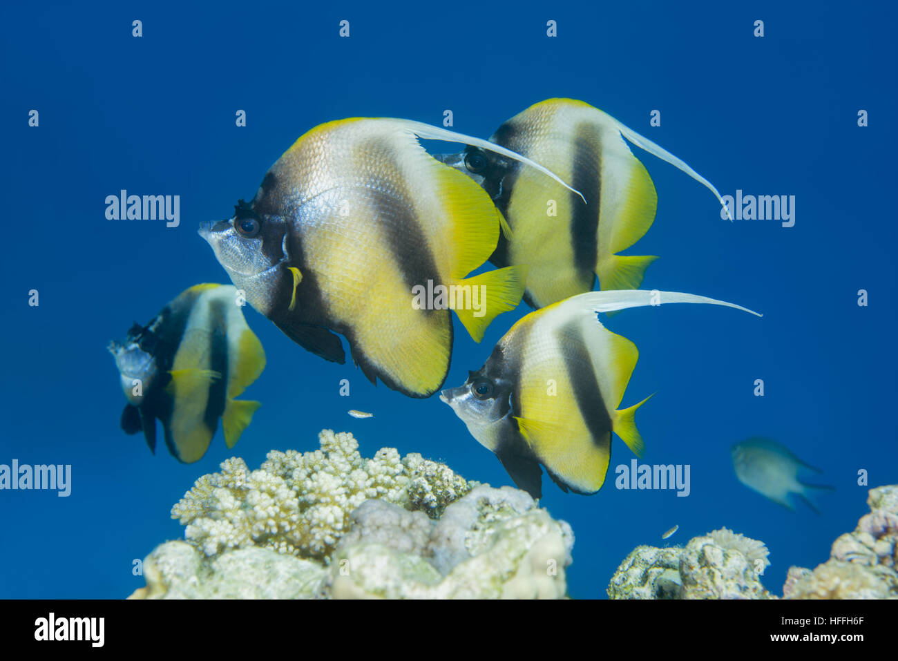 of fish pennant coralfish longfin bannerfish reef