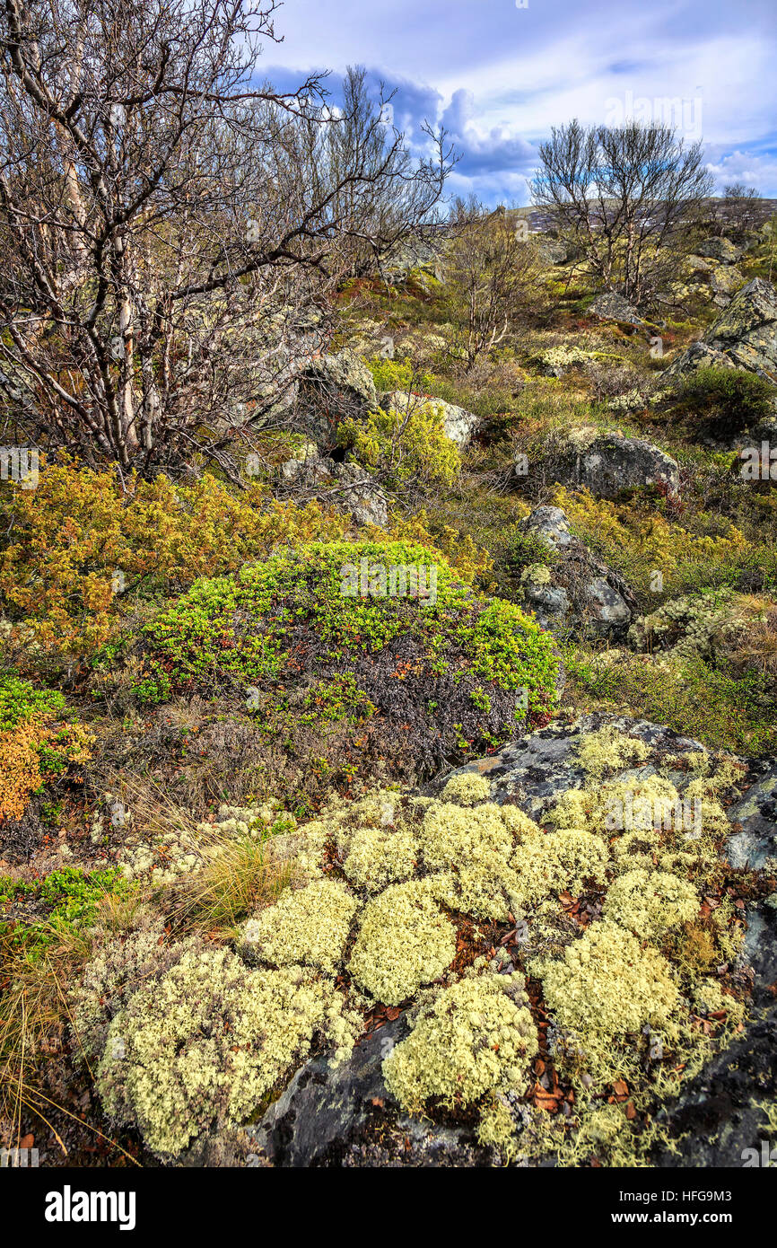 Beautiful natural gardens - Beautiful Natural Gardens Of Alpine Plants At Dovre Oppland Norway