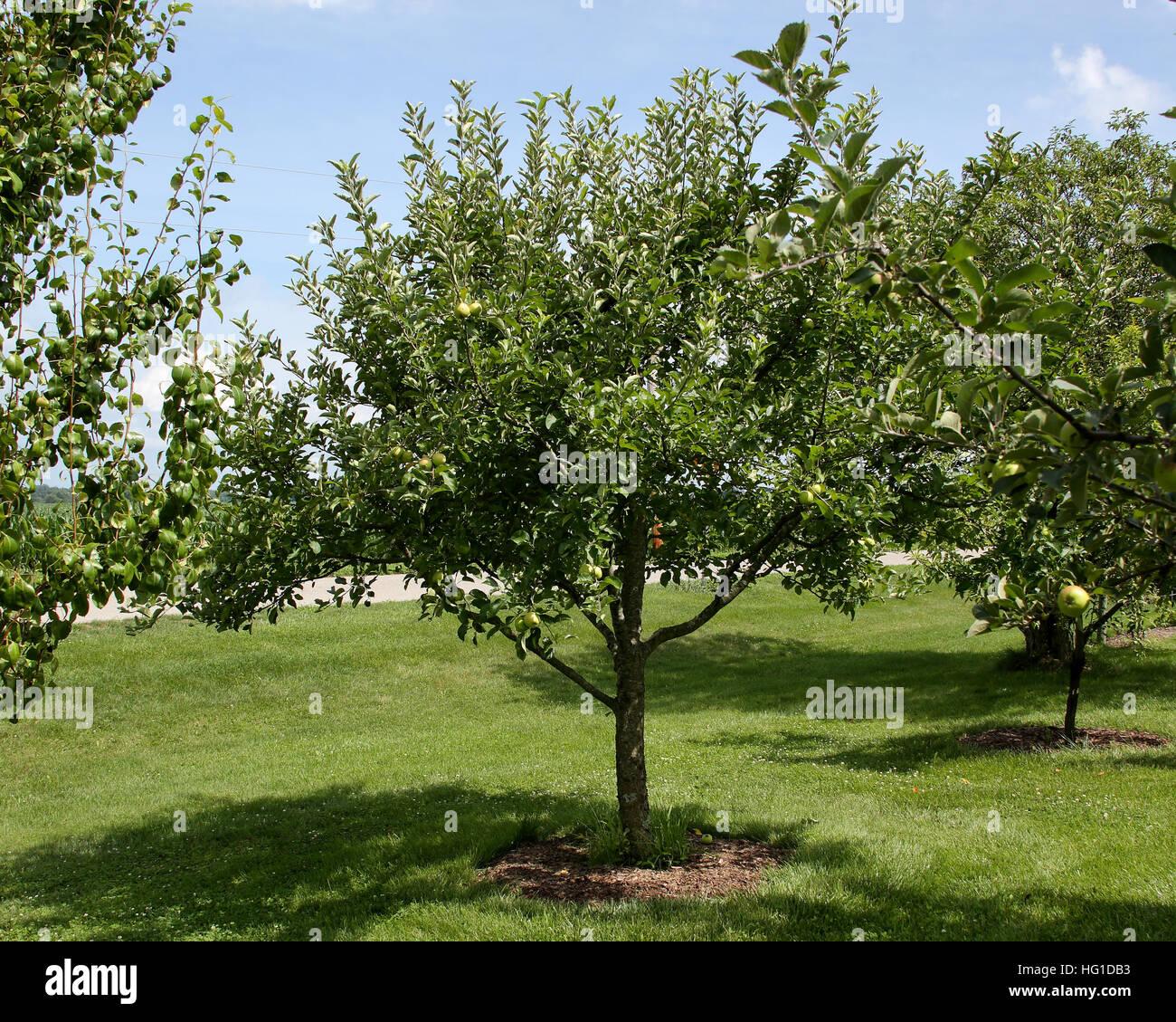 Semi-dwarf Apple Tree In Backyard Orchard In Mid-season