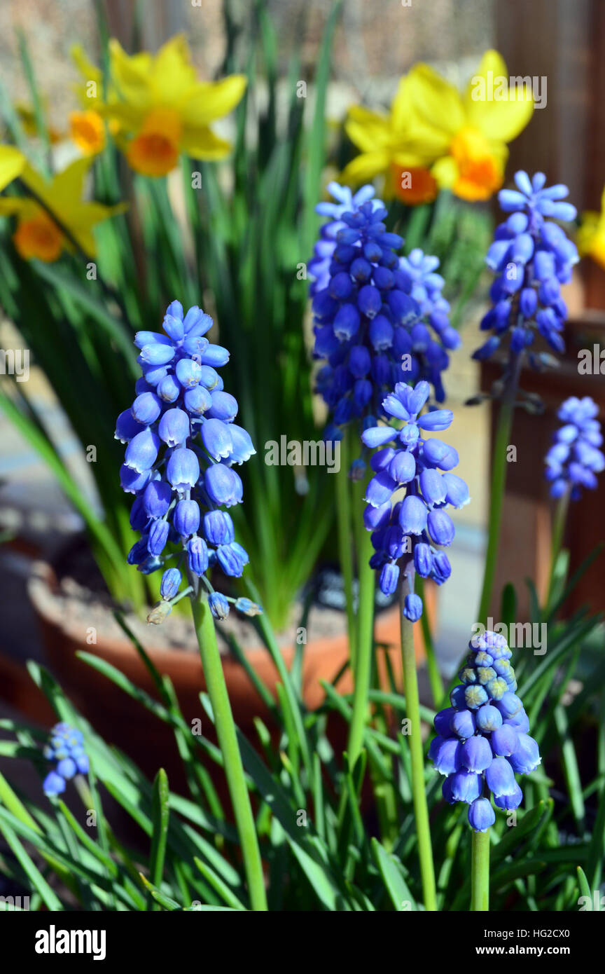Unique Muscari Aucheri Blue Magic Grape Hyacinth With Daffodils At Rhs  With Extraordinary Muscari Aucheri Blue Magic Grape Hyacinth With Daffodils At Rhs Garden  Harlow Carr Harrogate Yorkshire England Uk With Beauteous Quality Diamonds Hatton Garden Also Garden Fountains And Waterfalls In Addition Unusual Solar Garden Lights And Sharm El Sheikh Sultan Gardens As Well As Parking Covent Garden Additionally Webs Garden Centre From Alamycom With   Extraordinary Muscari Aucheri Blue Magic Grape Hyacinth With Daffodils At Rhs  With Beauteous Muscari Aucheri Blue Magic Grape Hyacinth With Daffodils At Rhs Garden  Harlow Carr Harrogate Yorkshire England Uk And Unique Quality Diamonds Hatton Garden Also Garden Fountains And Waterfalls In Addition Unusual Solar Garden Lights From Alamycom