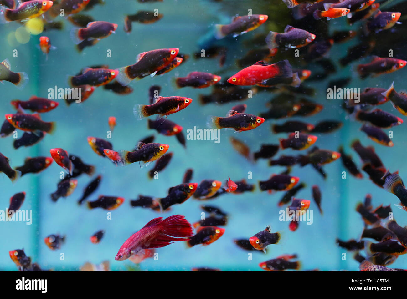 guppy fish in tank stock photo royalty free image 130436209 alamy