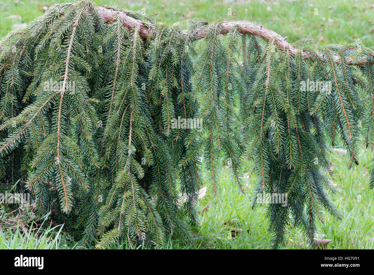Hanging Branches Of The Evergreen Weeping Spruce Picea Omorika Pendula