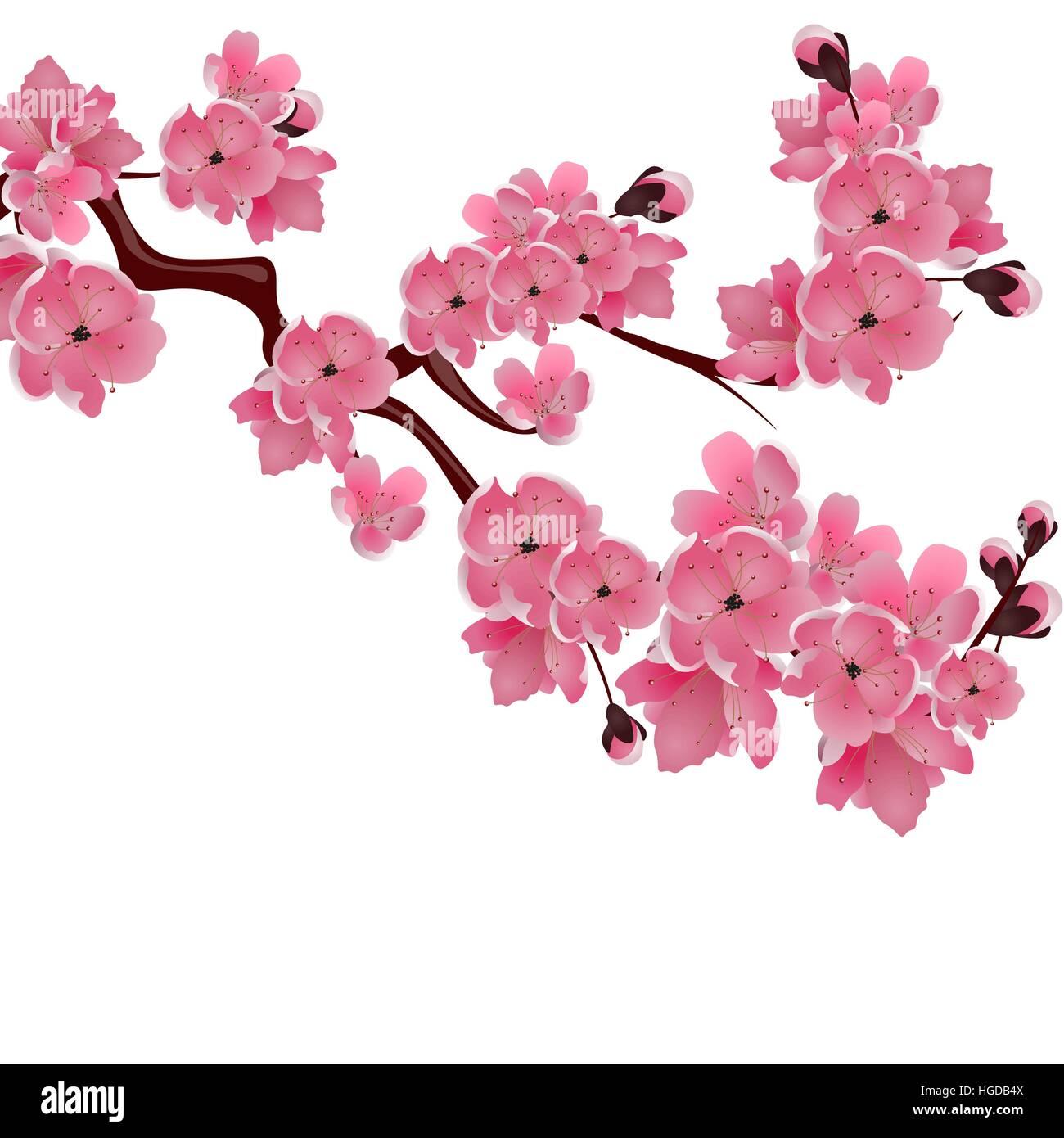 Flowering japanese cherry sprig of pink sakura blossoms isolated flowering japanese cherry sprig of pink sakura blossoms isolated white background illustration dhlflorist Images