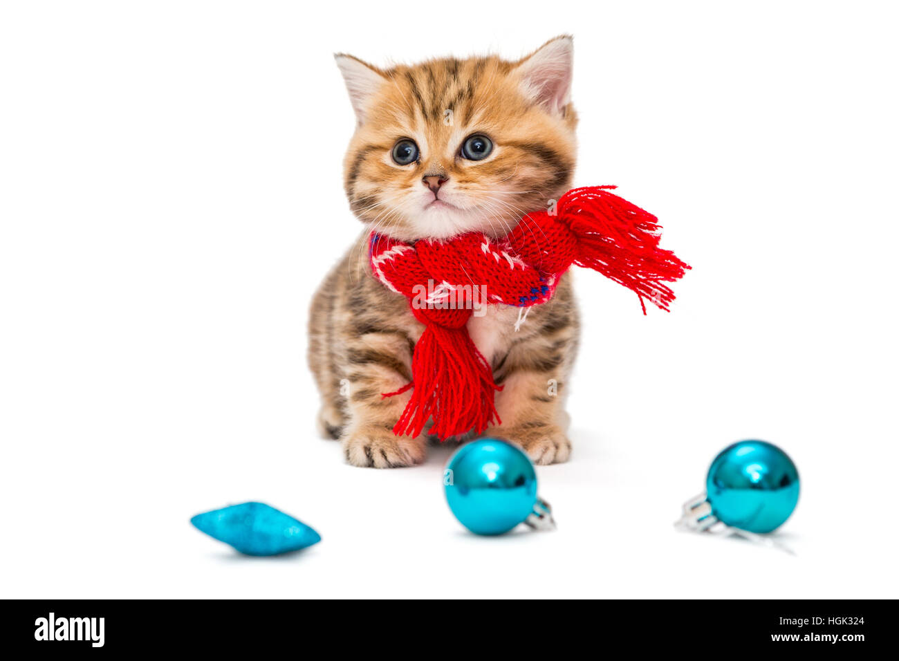 Cute kitten breeds British Marble in a red scarf Stock