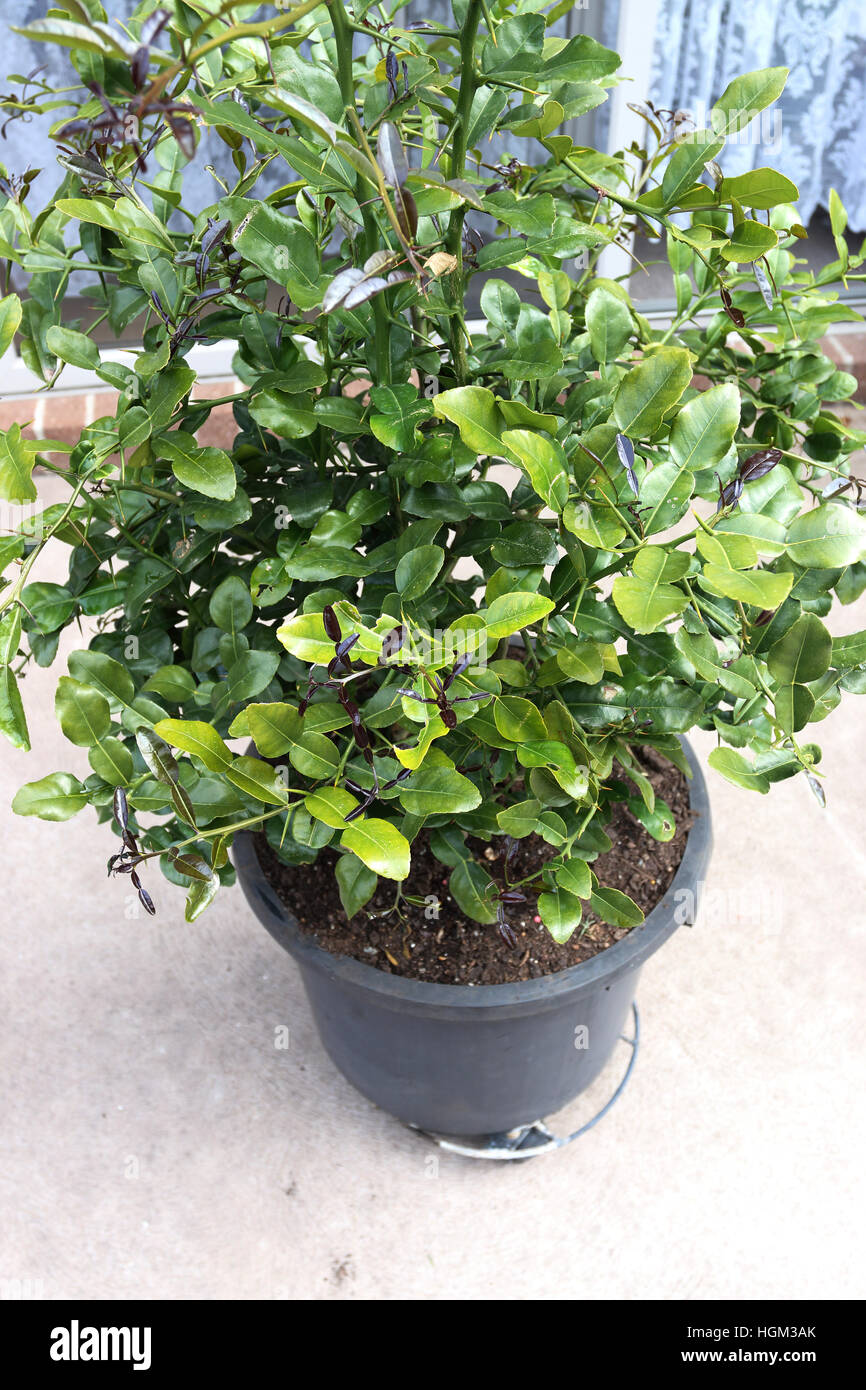 growing kaffir lime citrus hystrix in a pot stock image - Kaffir Lime Tree