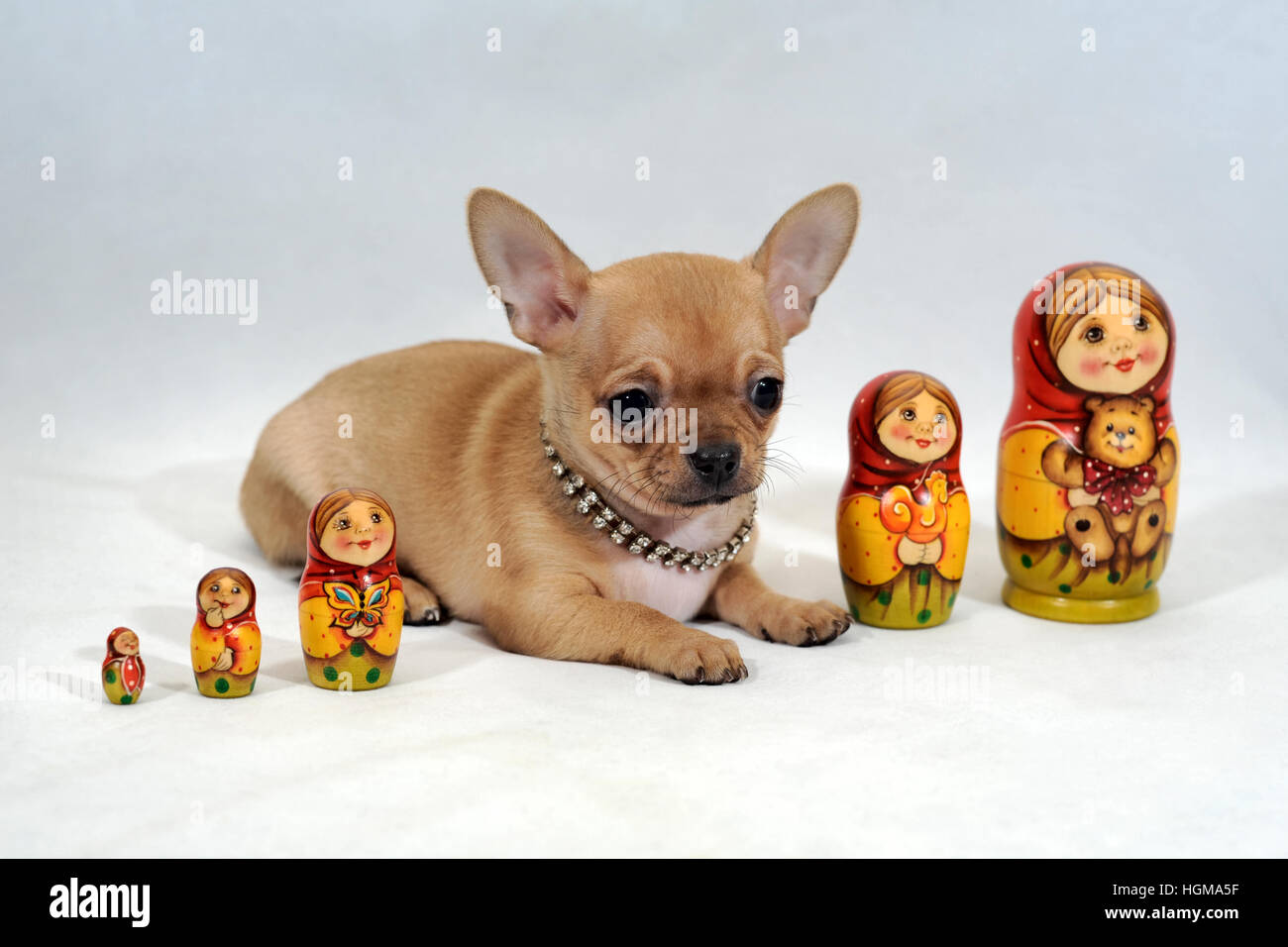 short hair chihuahua puppy wrapped with russian nesting dolls