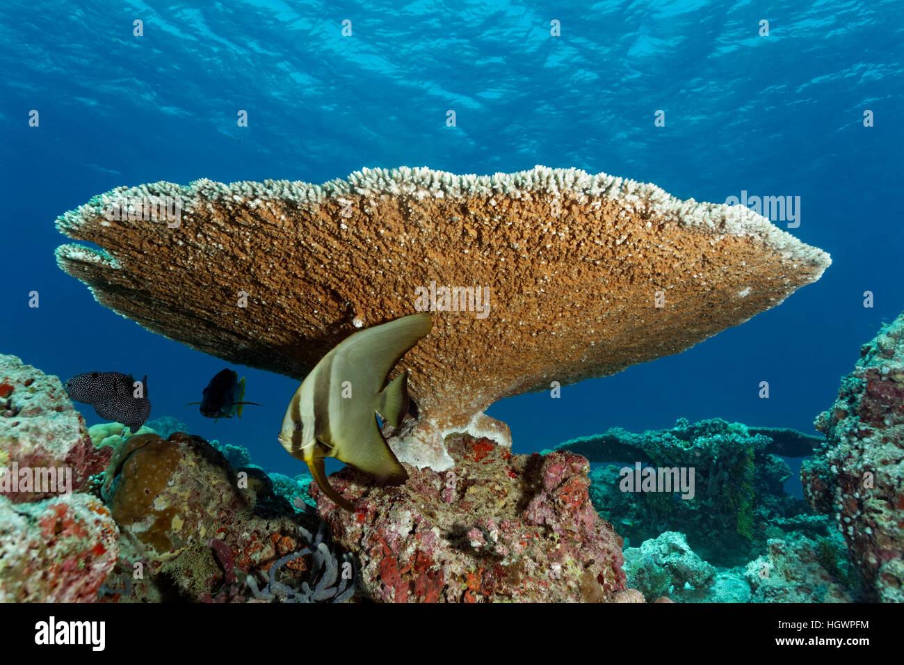 Young Longfin Batfish (Platax Teira), Hiding Under Robust Table Coral  (Acropora Robusta), Lhaviyani Atoll, Maldives