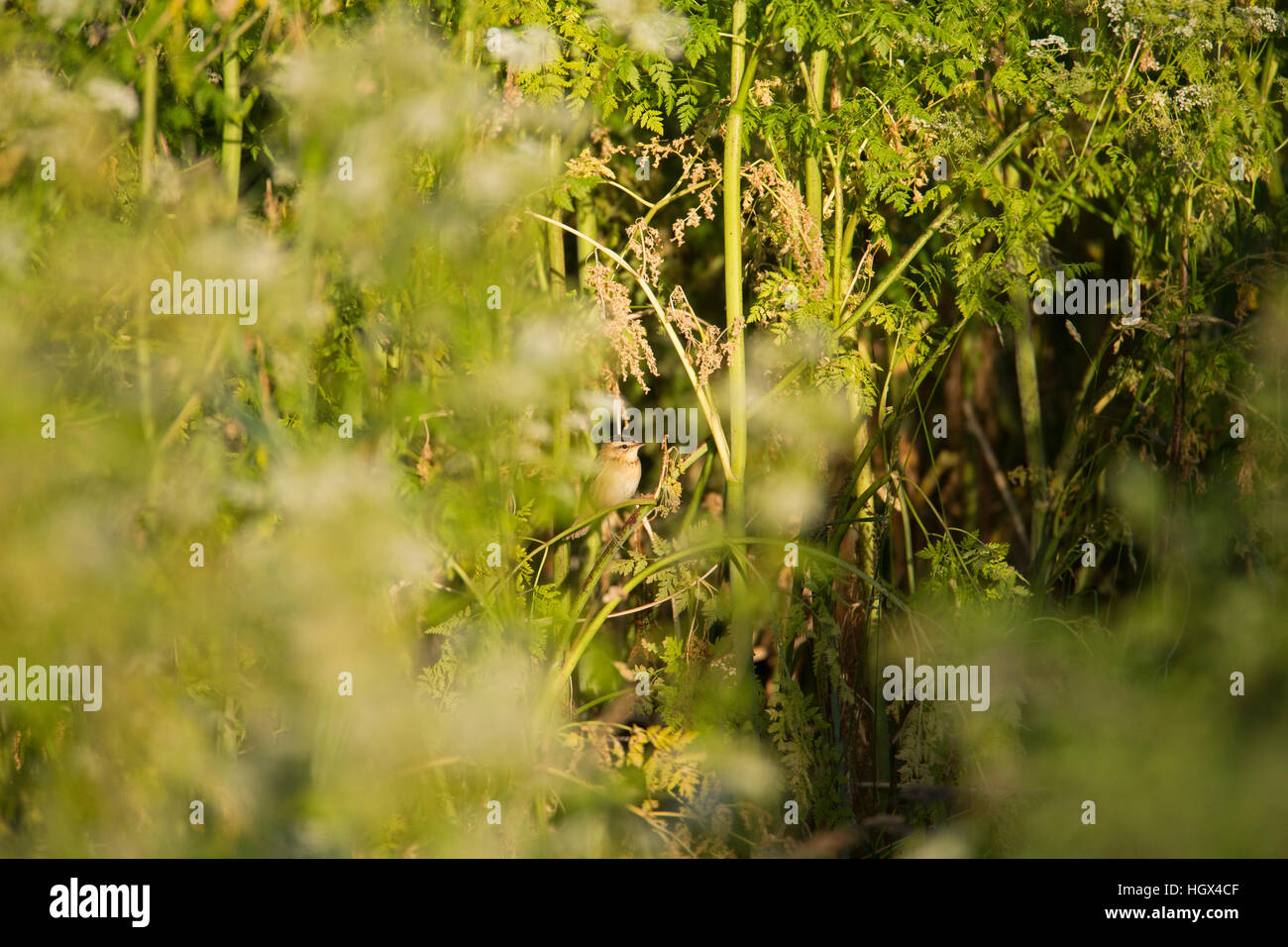 lbj little brown jobs small birds sedge warbler skulking about lbj little brown jobs small birds sedge warbler skulking about in the undergrowth so hard to see among the vegetation