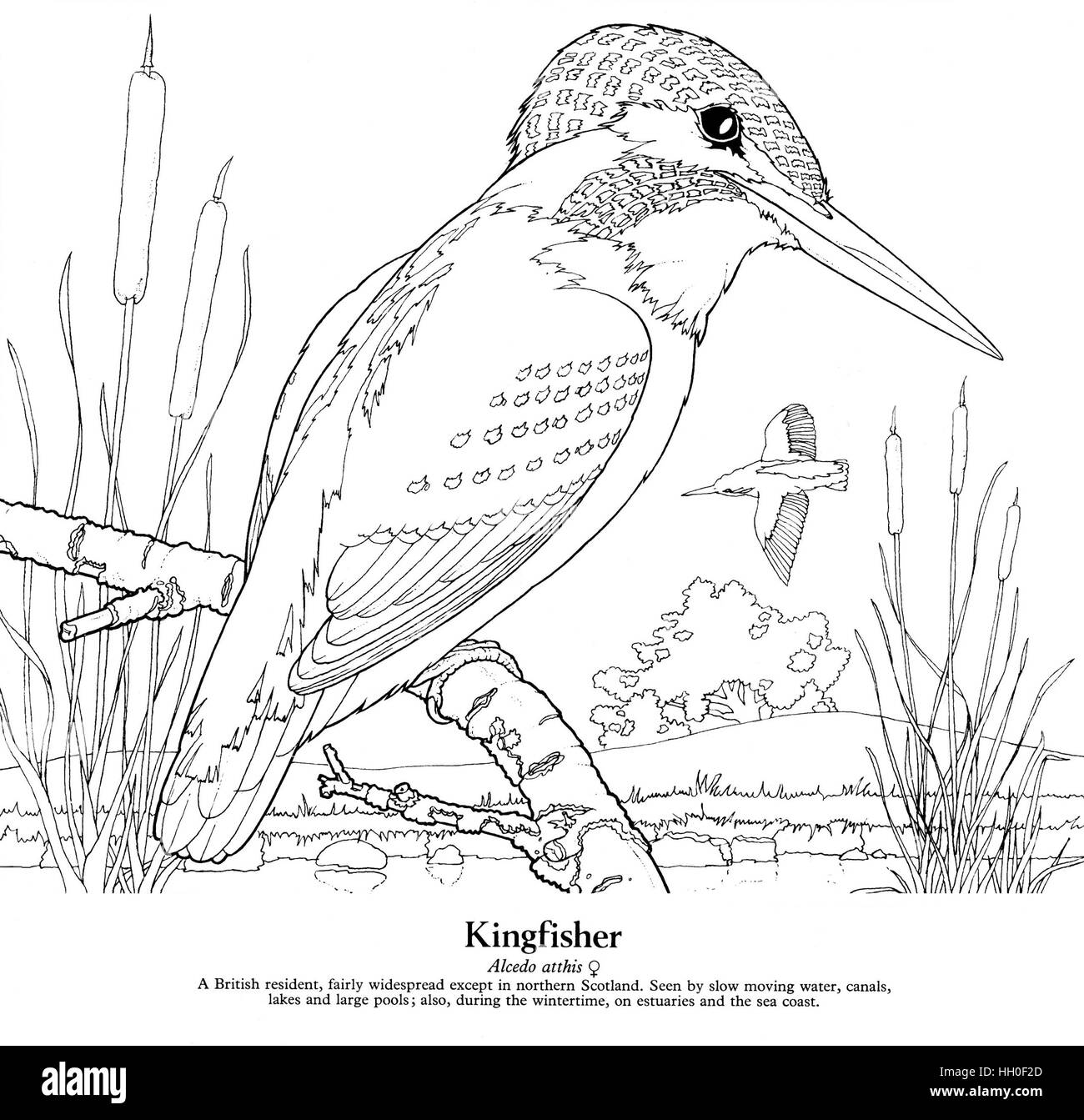 Line Drawing Kingfisher : Kingfisher alcedo atthis black on white line drawing