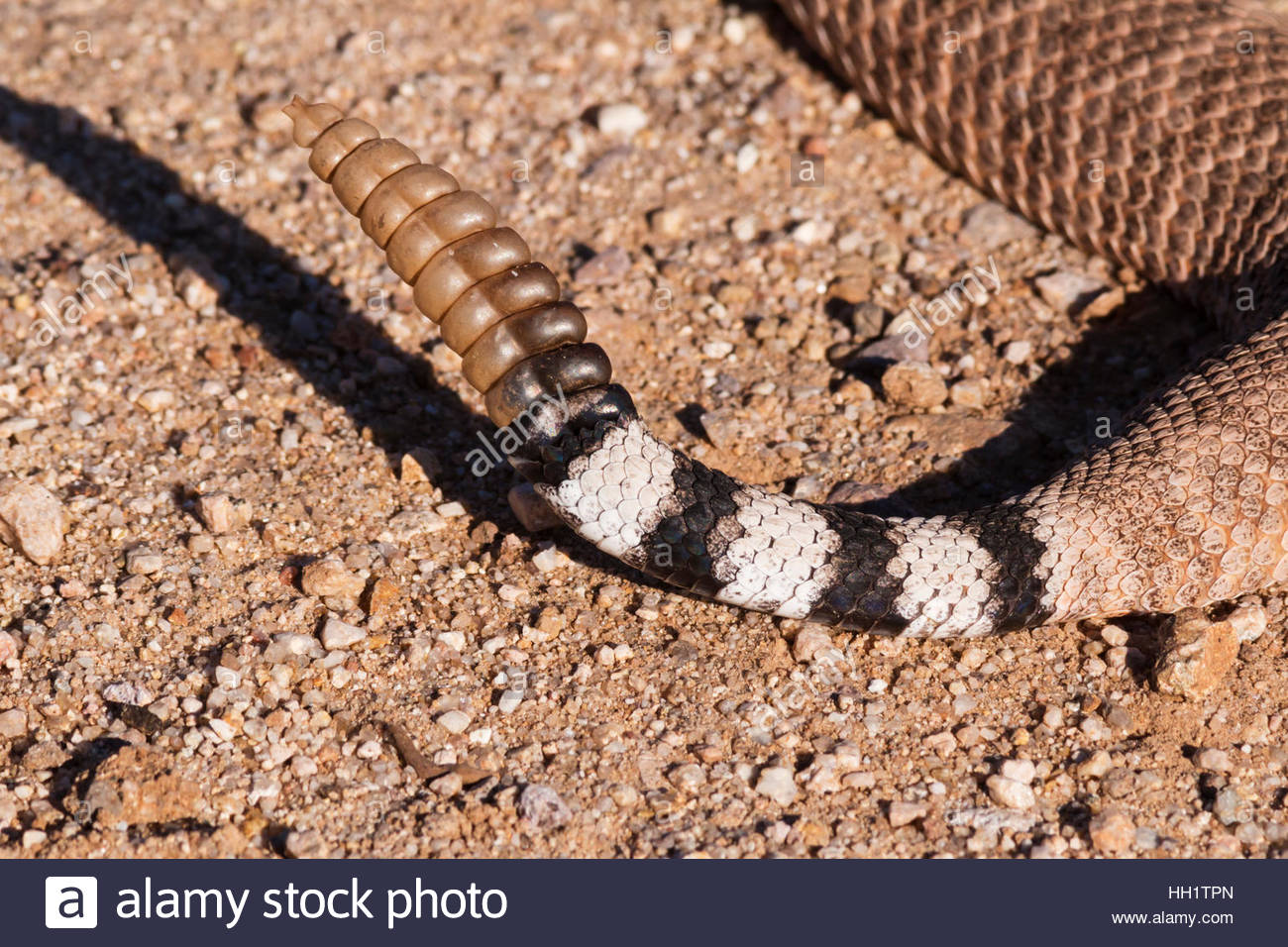 western-diamond-backed-rattlesnake-crotalus-atrox-detail-of-tail-and-HH1TPN.jpg