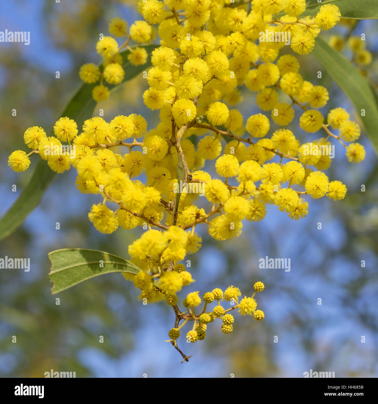Australian icon golden wattle flowers blooming in spring close up australian icon golden wattle flowers blooming in spring close up dhlflorist Choice Image