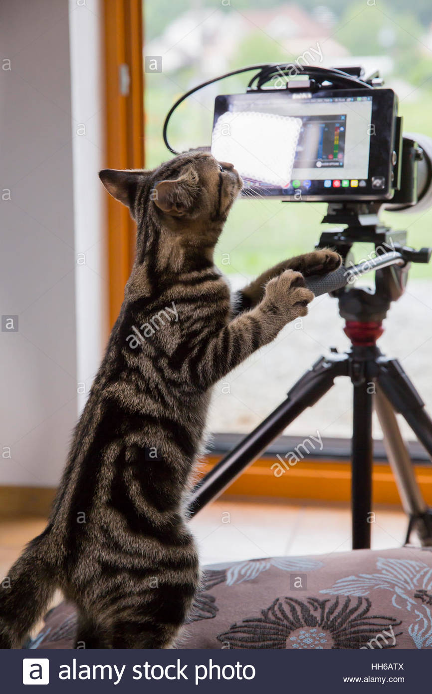 Black and brown stripes cat behind professional video camera