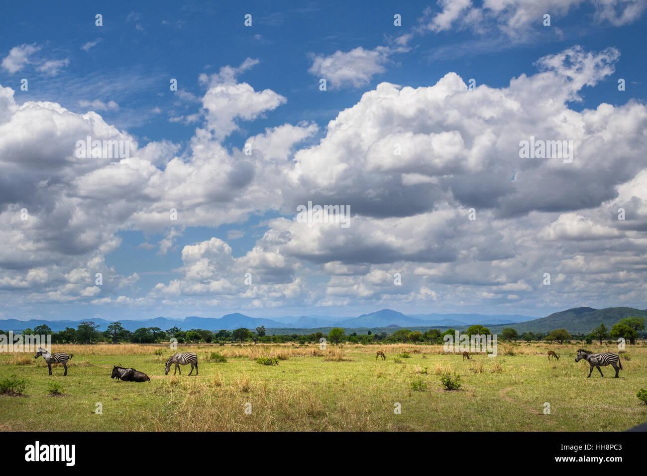 Afica wildlife animals free on thei home, Ruaha, Tanzania Stock ...