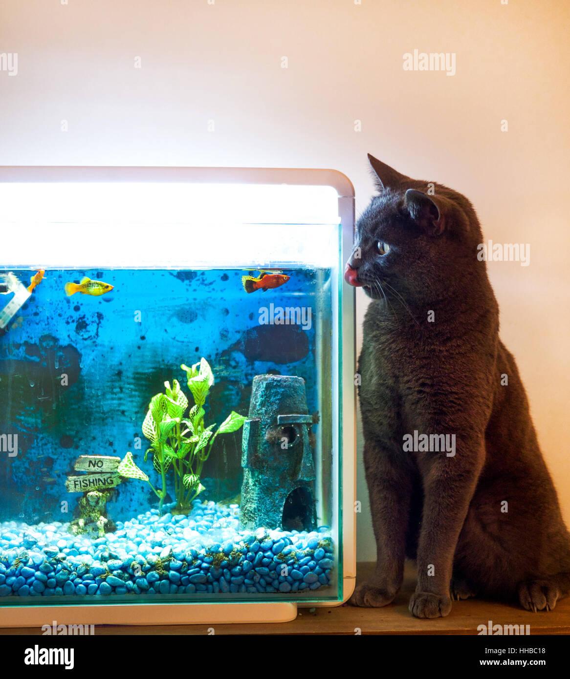 British Blue Cat Stock s & British Blue Cat Stock Alamy