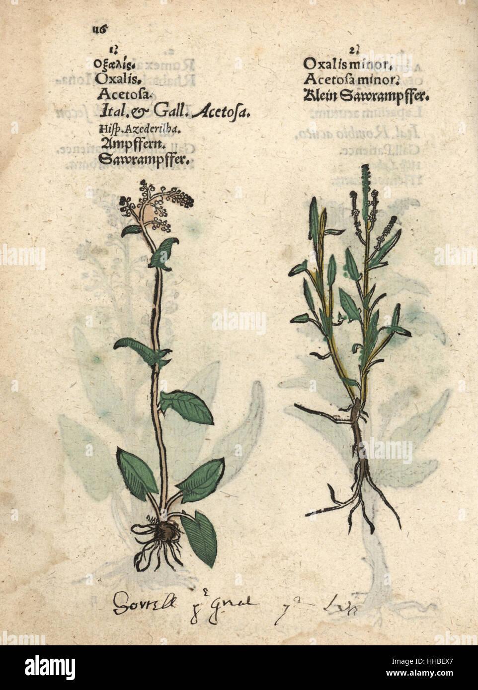 Rumex Acetosella Flower